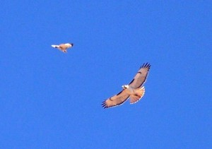 Red-tail hawks soaring