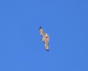 Red-tail hawk soaring