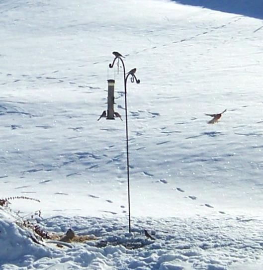 Snow-birds