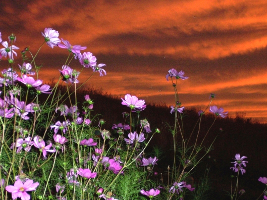 Cosmos flowers against a blazing sunset